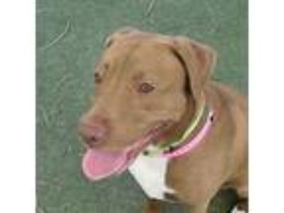 Adopt DUTCHES a Labrador Retriever, Mixed Breed