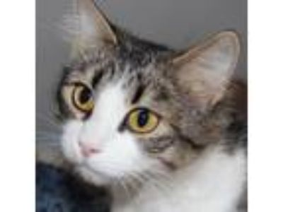 Adopt Brindy a Domestic Shorthair / Mixed cat in Des Moines, IA (25334118)