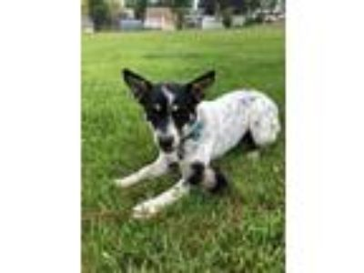 Adopt Liv a Border Collie, Cattle Dog