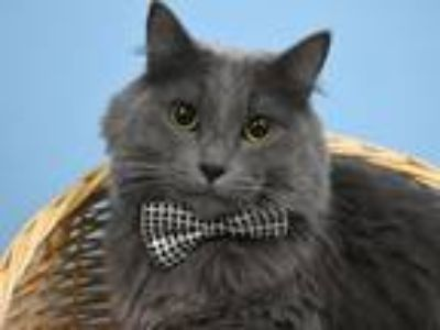 Adopt Darrow a Domestic Mediumhair / Mixed cat in Portland, OR (25366415)