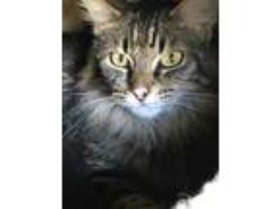 Adopt Shasta a Brown or Chocolate Domestic Mediumhair / Domestic Shorthair /
