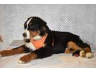 Adopt Goliath a Bernese Mountain Dog / Mixed dog in Manhattan, NY (25547348)