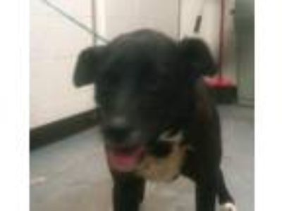 Adopt Xena a Border Collie, Labrador Retriever