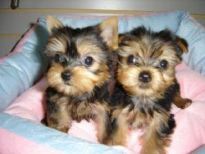 Yorkies Ready for the Holidays