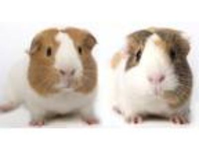 Adopt Cinnamon & Alexa a White Guinea Pig (short coat) small animal in Chicago