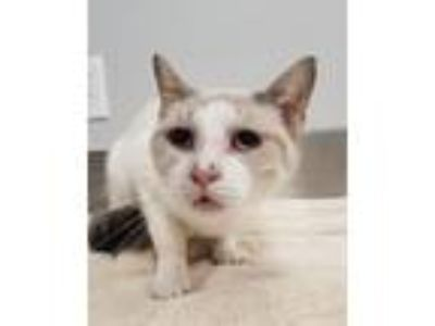 Adopt Snow Angel a Siamese / Mixed (short coat) cat in Angola, IN (25264087)