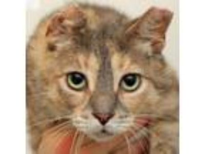 Adopt Brittany a Domestic Short Hair
