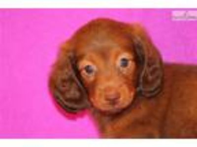 Nibble Mini Dachshund Female cho based red