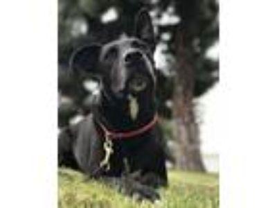 Adopt Hank a Black Labrador Retriever / Pit Bull Terrier / Mixed dog in Mira