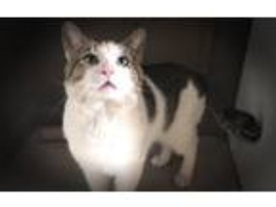 Adopt Sammy a Brown Tabby Domestic Shorthair (short coat) cat in CLEVELAND