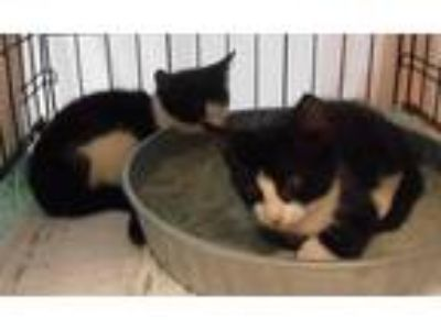 Adopt Tuxie Boy and Tuxie Girl a Black & White or Tuxedo Domestic Shorthair
