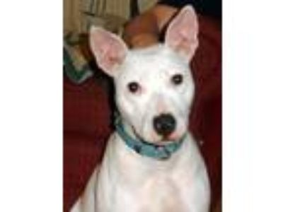 Adopt Harley a Bull Terrier