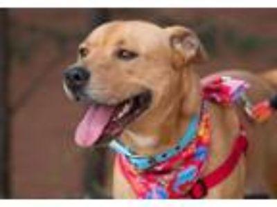 Adopt Party a Red/Golden/Orange/Chestnut Labrador Retriever / Siberian Husky /