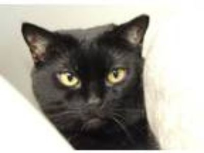 Adopt Midnight aka Petunia a Domestic Long Hair
