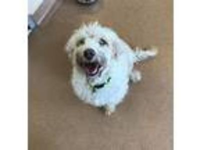Adopt Saul a Poodle (Standard) / Mixed dog in Dublin, CA (25911058)