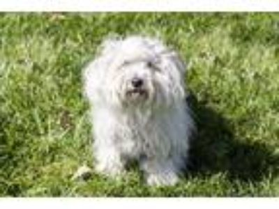 Adopt Tortellini a Lhasa Apso / Mixed dog in Napa, CA (25479236)