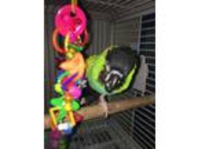 Adopt Mandoah a Green Conure bird in Punta Gorda, FL (17056489)
