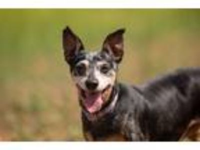 Adopt Rose a Dachshund / Mixed dog in Oceanside, CA (25291970)