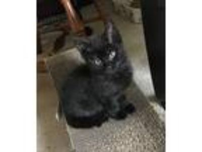 Adopt Ao a All Black Domestic Shorthair (short coat) cat in Middleton