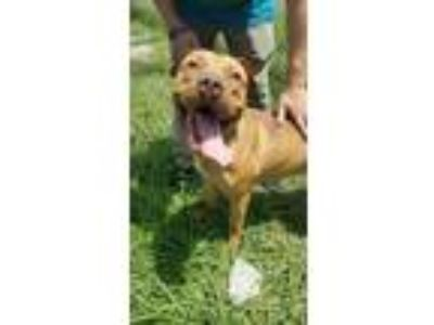 Adopt COOKIE MONSTER a Pit Bull Terrier