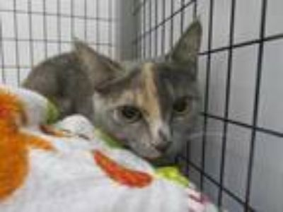 Adopt Lana a Gray or Blue Domestic Shorthair / Domestic Shorthair / Mixed cat in