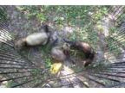Adopt Ferrets (2M) a Sable Ferret small animal in Christmas, FL (25106111)