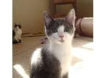 Adopt Margo a Gray or Blue (Mostly) Domestic Shorthair / Mixed cat in Salem