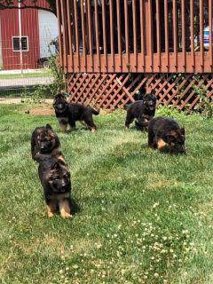 Long coat German Shepherd pups