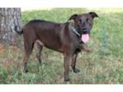 Adopt DARBY a Chocolate Labrador Retriever