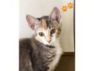 Adopt Chanel a Domestic Short Hair