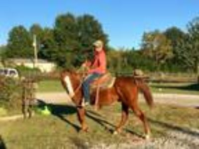 Adopt Ranger a Chestnut/Sorrel Quarterhorse horse in Pittsburg, KS (21451841)