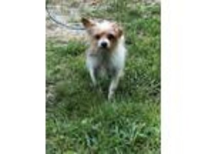Adopt Bentley a Terrier