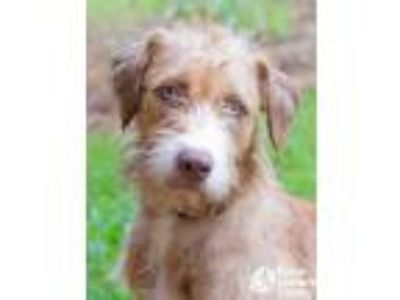 Adopt Hanako a Tan/Yellow/Fawn Airedale Terrier / Mixed dog in Lihue
