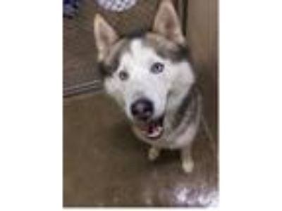 Adopt Aspen a Gray/Blue/Silver/Salt & Pepper Husky / Mixed dog in Hutchinson