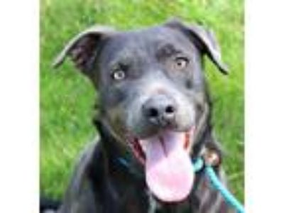 Adopt ARYA a Gray/Silver/Salt & Pepper - with White Blue Lacy/Texas Lacy / Mixed