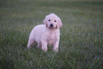 Cooper Goldendoodle