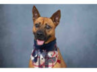 Adopt ZEUS a Brown/Chocolate - with Black German Shepherd Dog / Mixed dog in