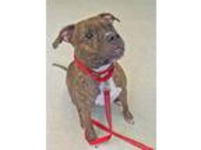 Adopt Ryder a Brindle - with White Boxer / Mixed dog in Shaftsbury