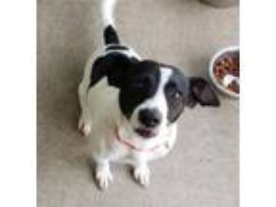 Adopt Lincoln a Rat Terrier