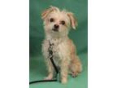 Adopt Mia a Yorkshire Terrier, Poodle