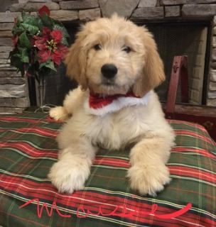 Goldendoodle PUPPY FOR SALE ADN-101280 - Gorgeous Goldendoodle Females