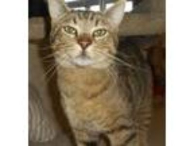 Adopt Hunter a Domestic Short Hair