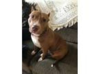 Adopt Lady Lorelie a Pit Bull Terrier