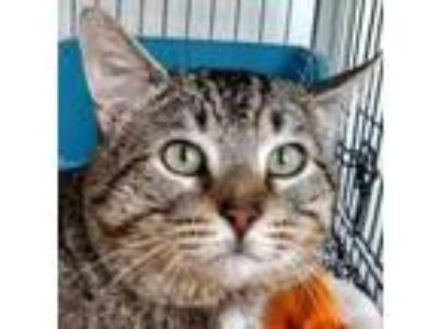 Adopt CHOMPER a Extra-Toes Cat / Hemingway Polydactyl, Tiger