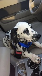 Dalmatian PUPPY FOR SALE ADN-65848 - Dalmation puppy for sale