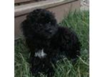 Adopt Winnie a English Toy Spaniel, Poodle