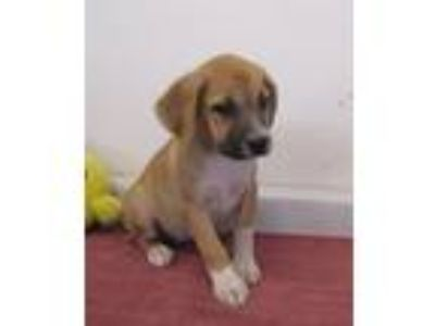 Adopt Florida a Tricolor (Tan/Brown & Black & White) Labrador Retriever / Husky