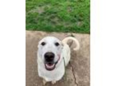 Adopt Cane a Yellow Labrador Retriever