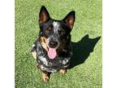 Adopt Dr Biscuits a Australian Cattle Dog / Blue Heeler