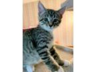 Adopt Graham a Domestic Short Hair